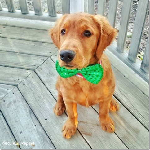 golden puppy st. Patrick's Day