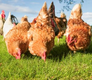 4 main advantages of raising chickens (and how to do it)